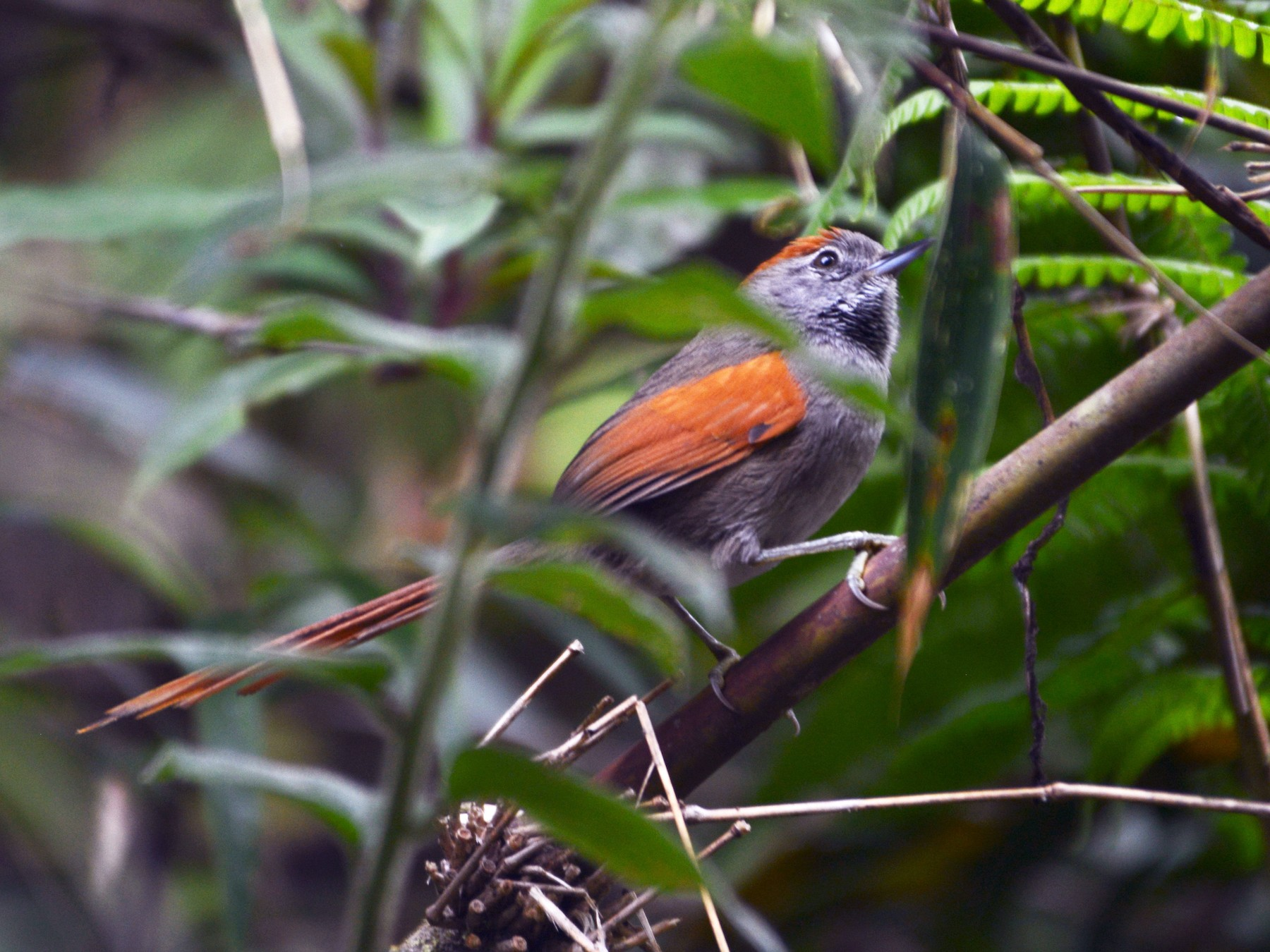 Azara's Spinetail - Alan Van Norman