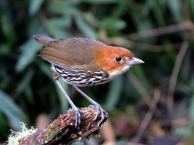 Chestnut-crowned Antpitta - Maurice Raymond
