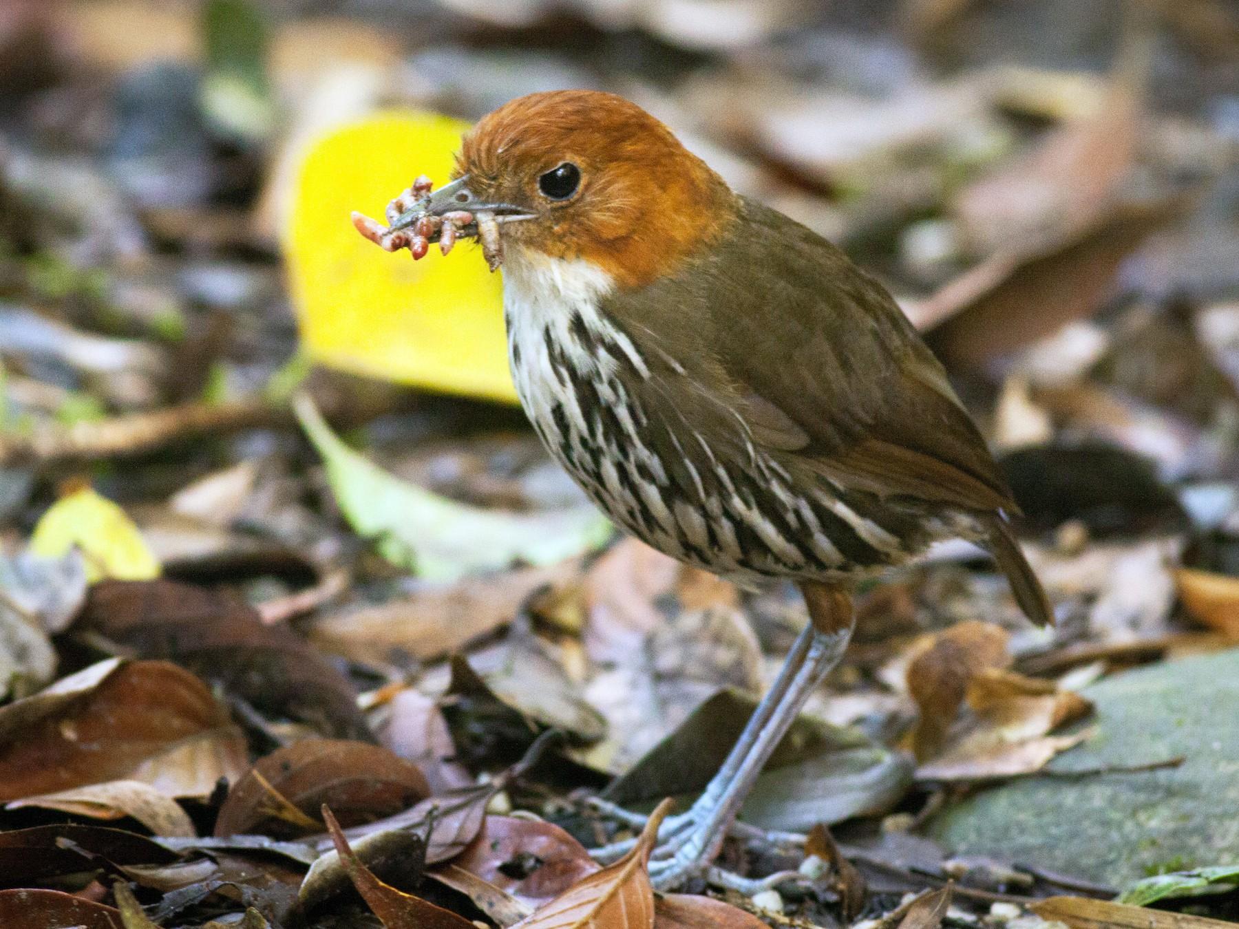 Chestnut-crowned Antpitta - Ian Davies