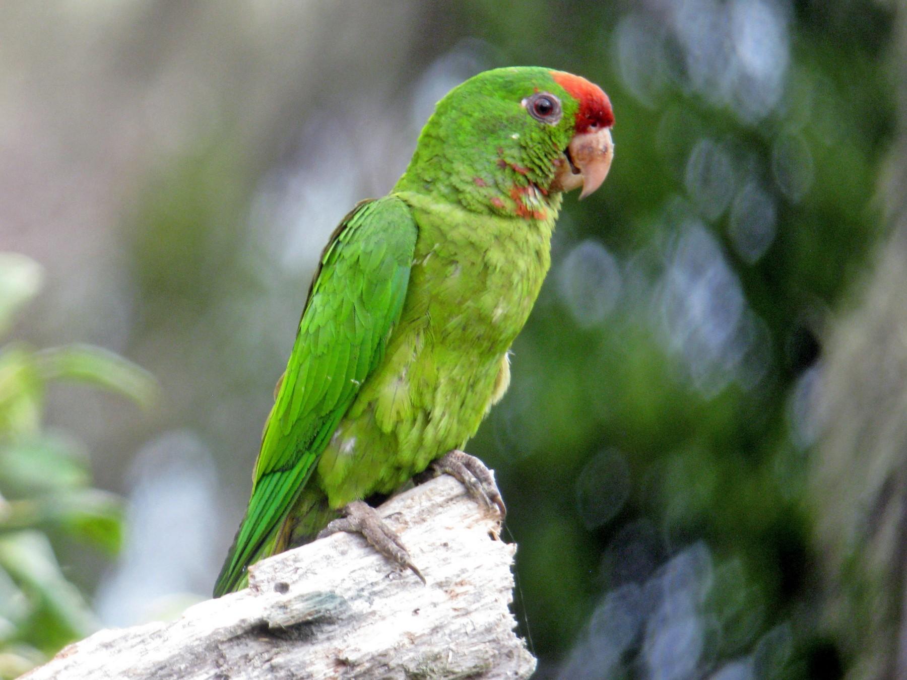 Scarlet-fronted Parakeet - John Drummond