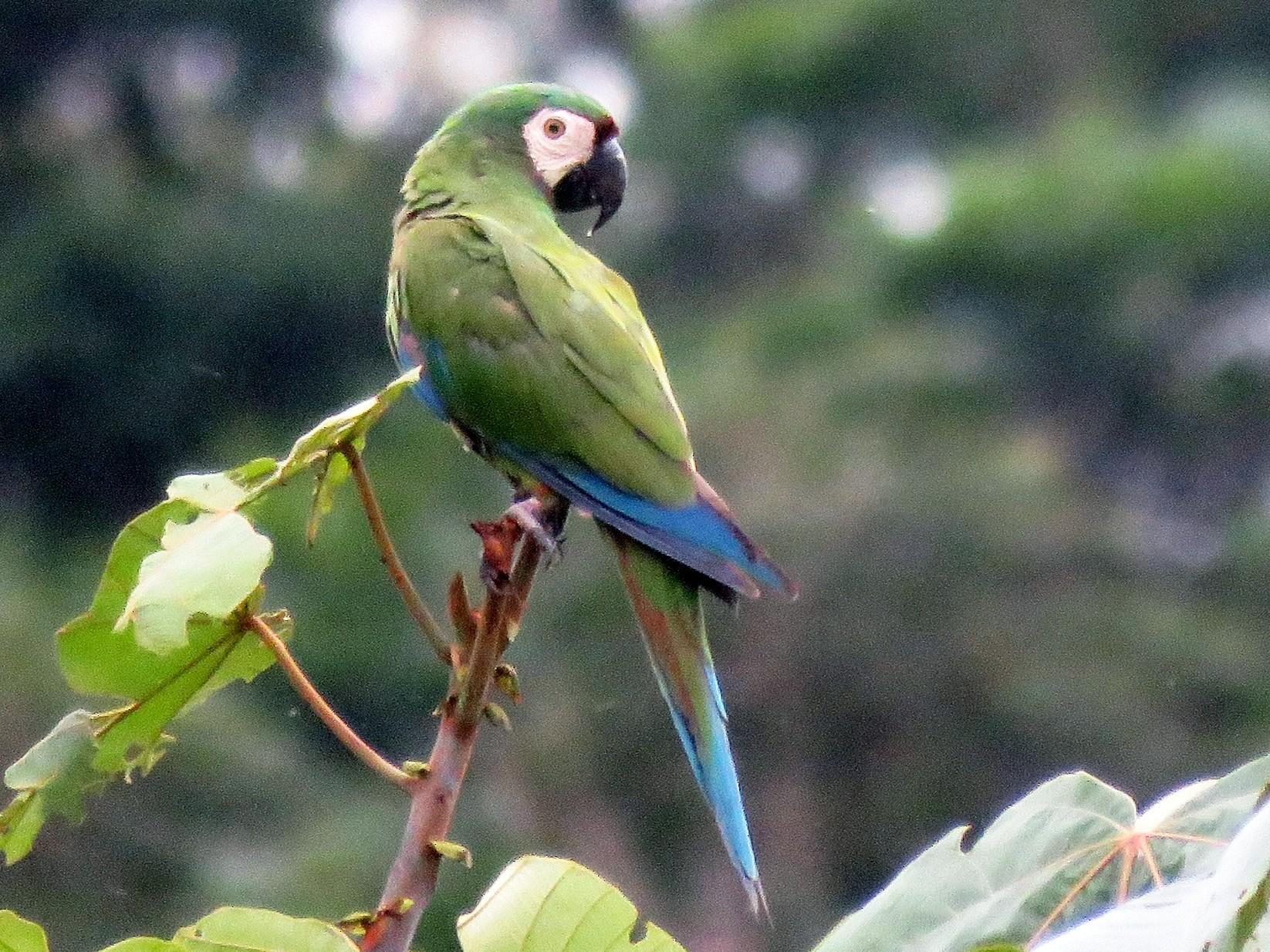 Chestnut-fronted Macaw - Fernando Angulo - CORBIDI