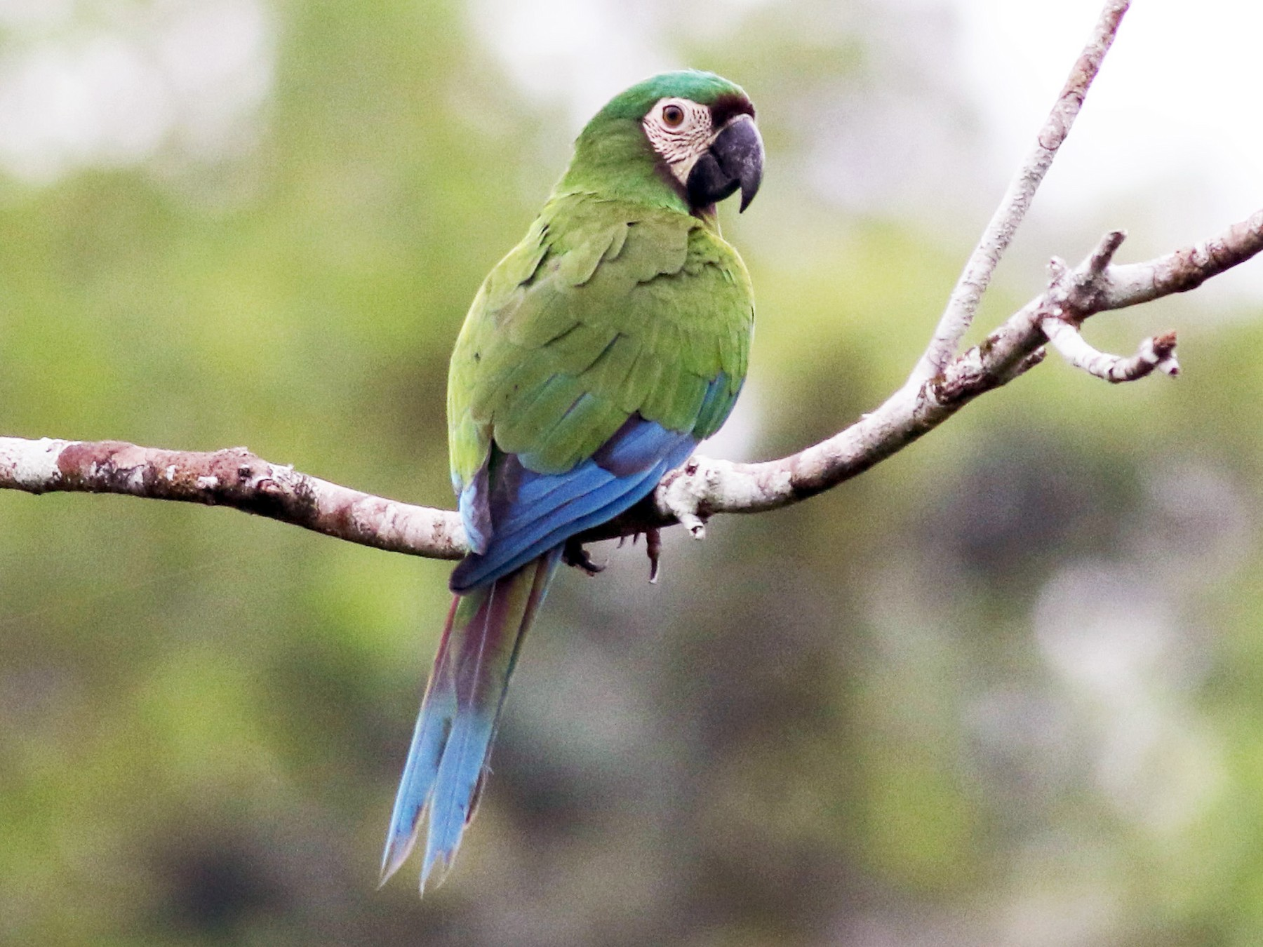 Chestnut-fronted Macaw - Jay McGowan