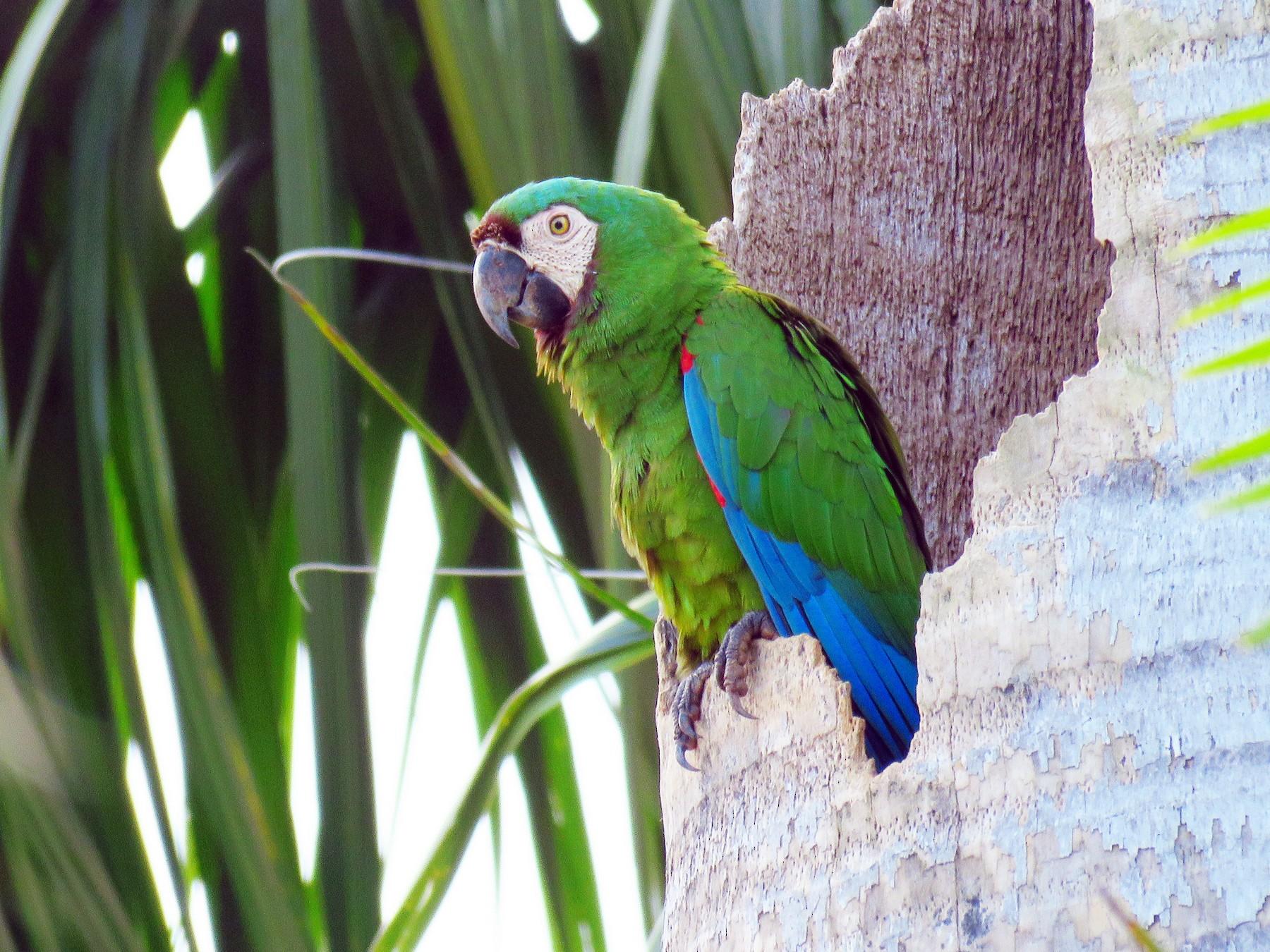Chestnut-fronted Macaw - robert wellens