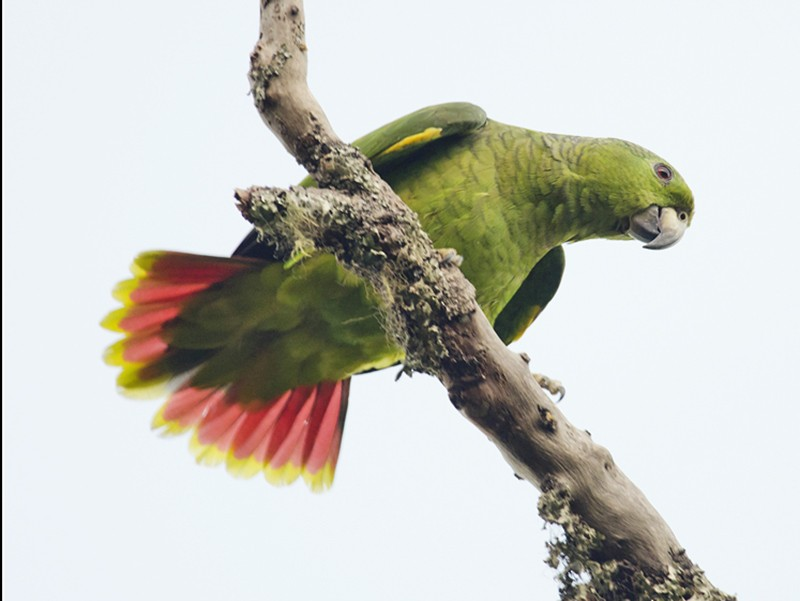 Scaly-naped Parrot - Anonymous eBirder
