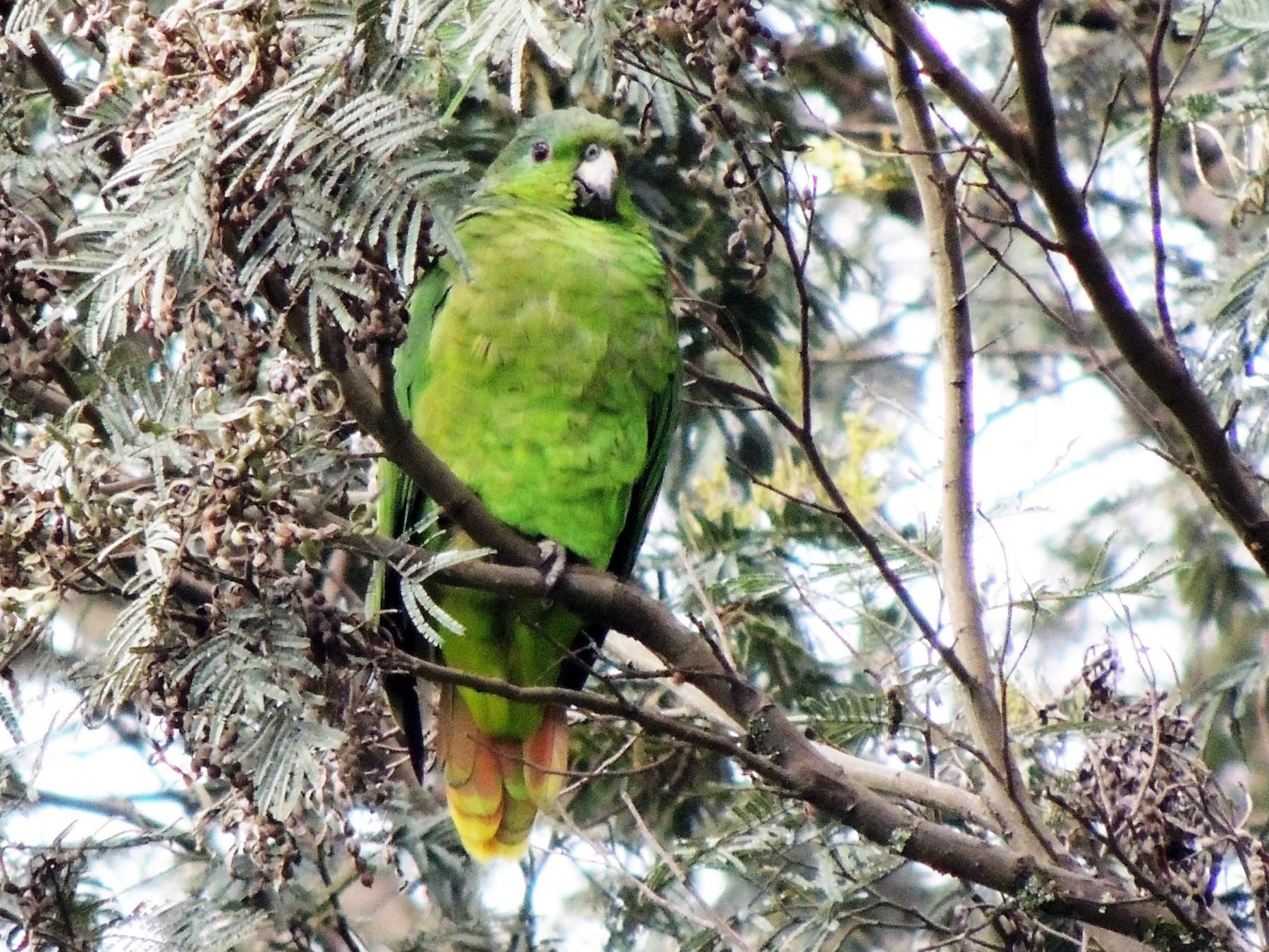 Scaly-naped Parrot - Adalberto Quiroga Villada