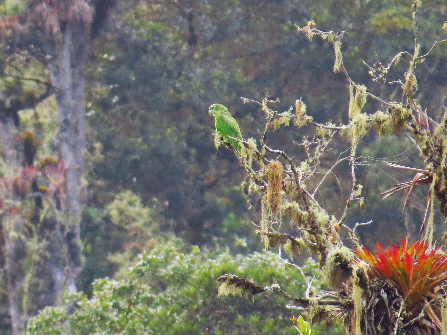 Scaly-naped Parrot - Jorge Muñoz García   CAQUETA BIRDING