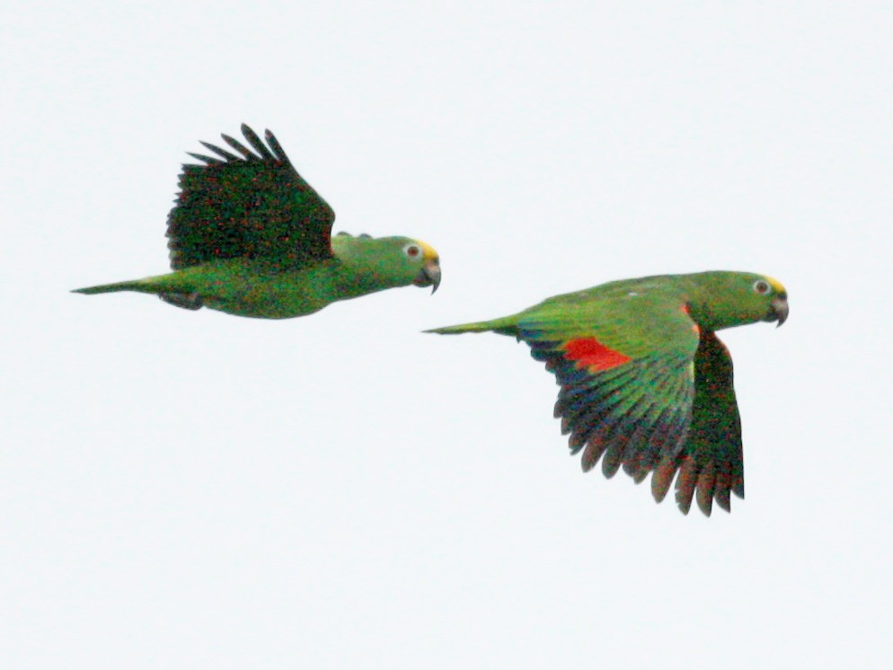 Yellow-crowned Parrot - Jay McGowan