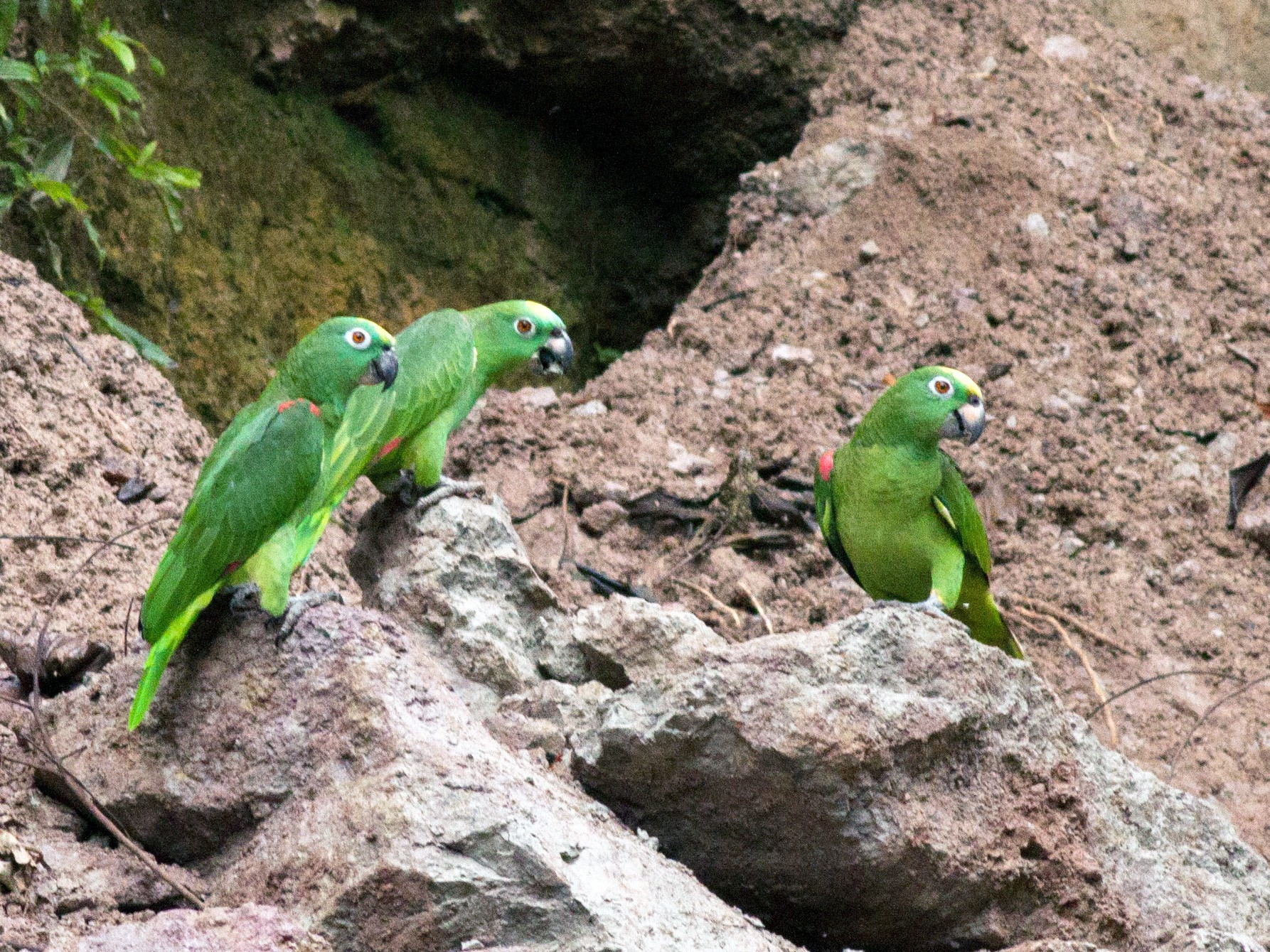 Yellow-crowned Parrot - Ian Davies
