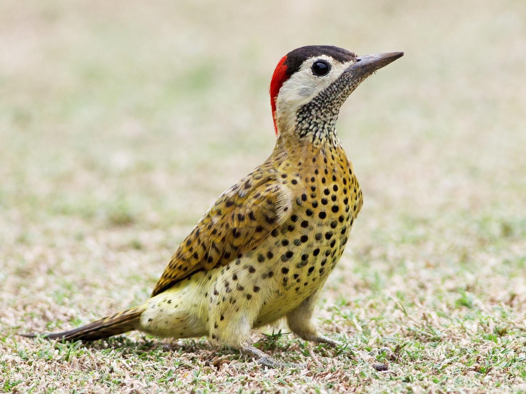 Spot-breasted Woodpecker - Chris Wood