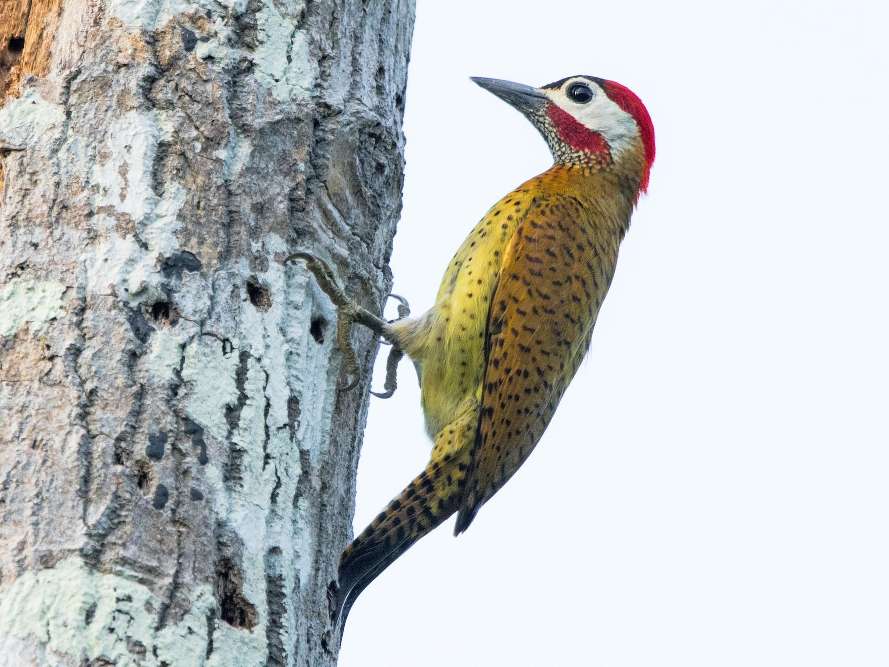 Spot-breasted Woodpecker - Rhys Marsh