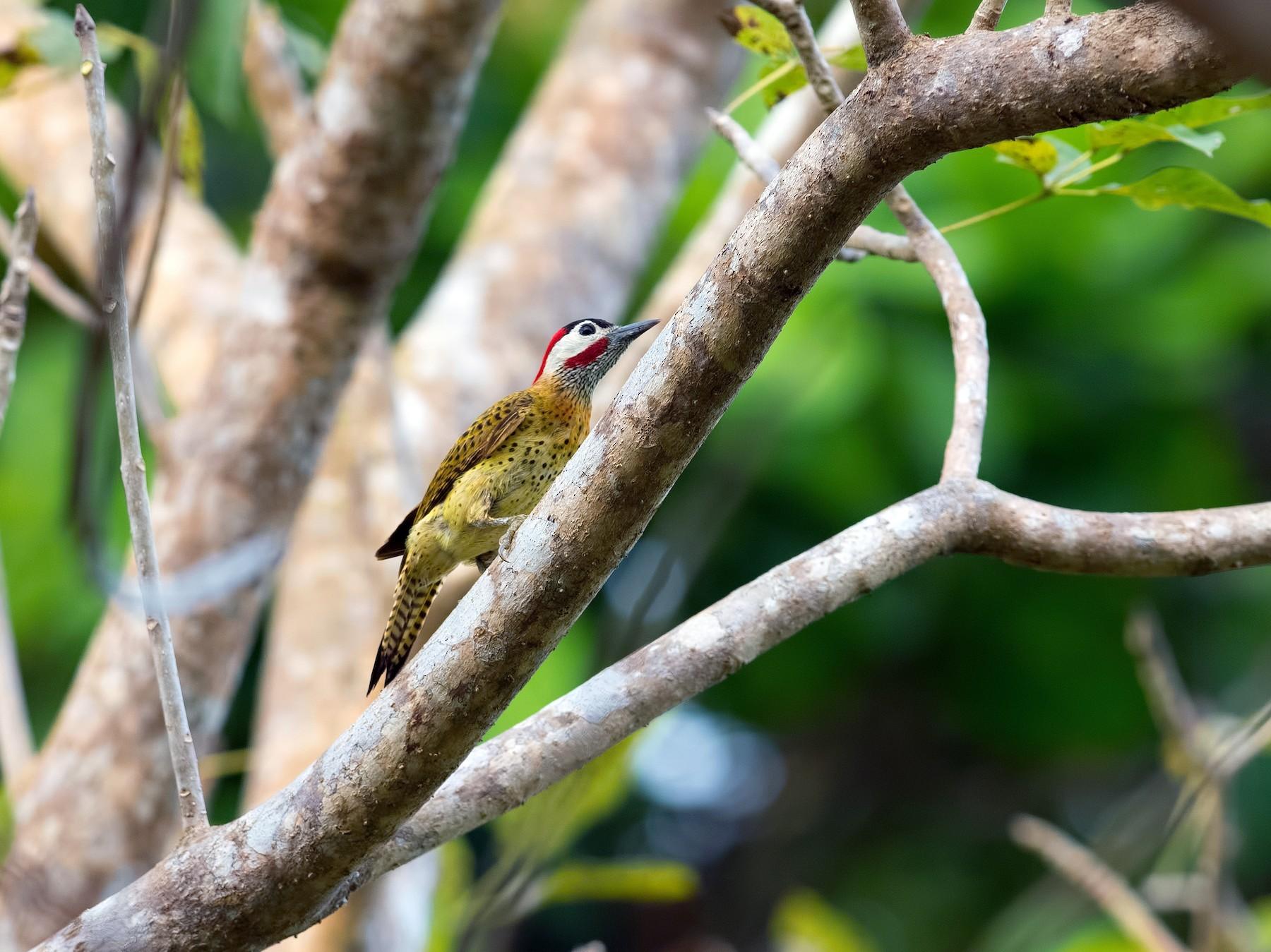 Spot-breasted Woodpecker - Shailesh Pinto