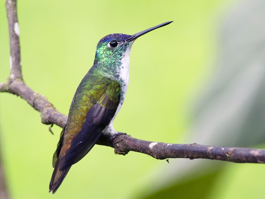 Andean Emerald - Joshua Vandermeulen