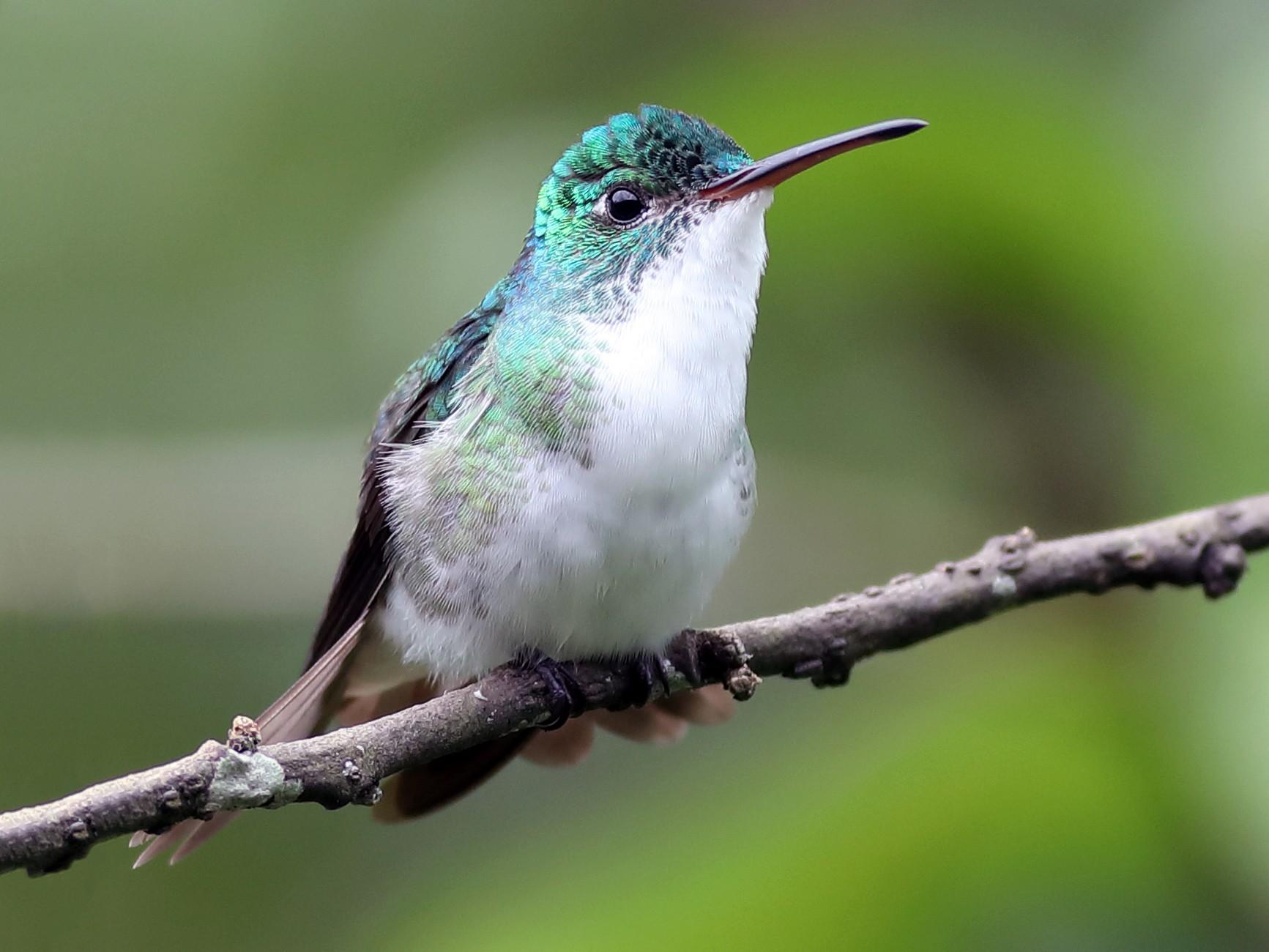 Andean Emerald - Graham Montgomery