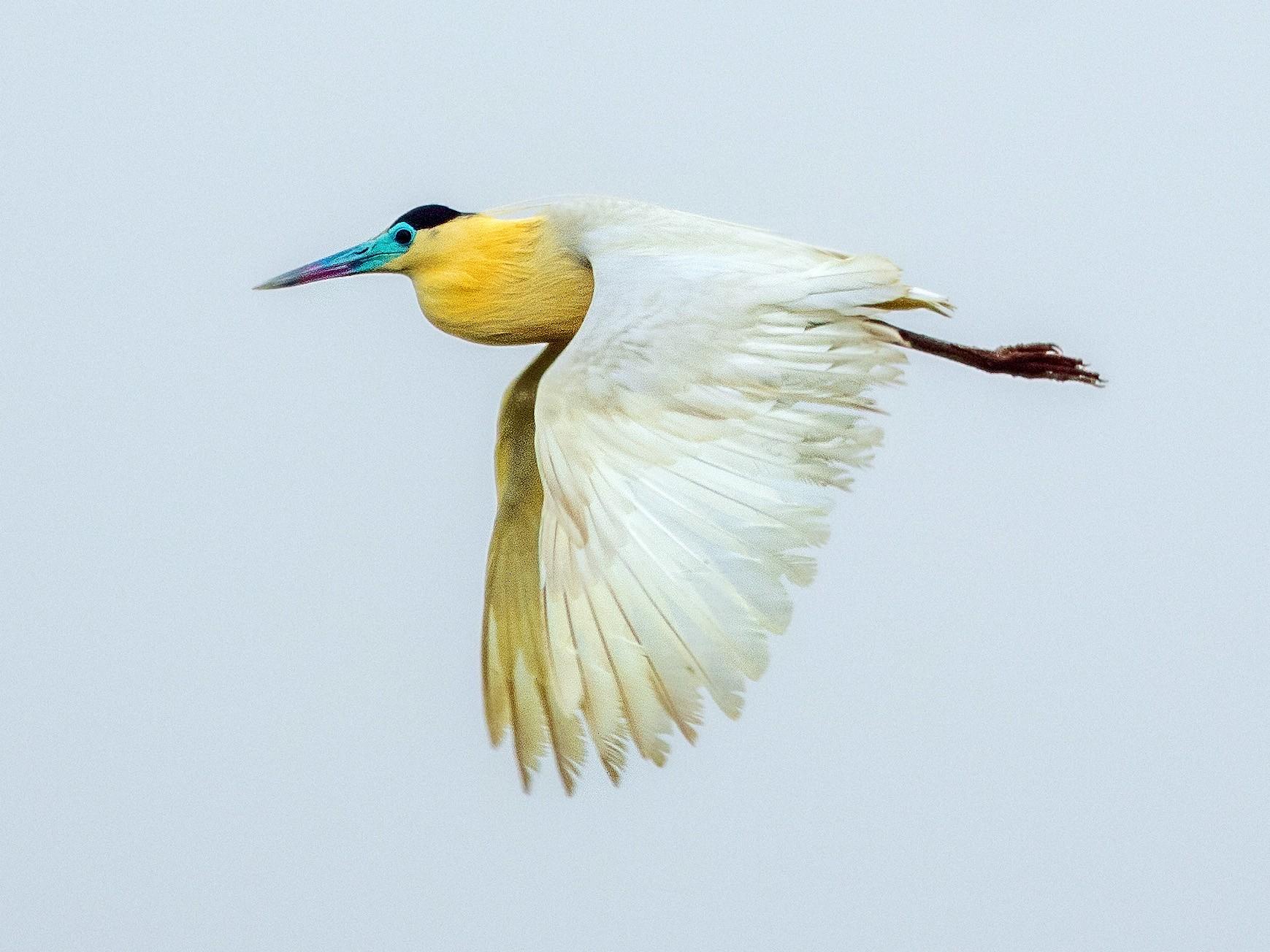 Capped Heron - Fernando Farias