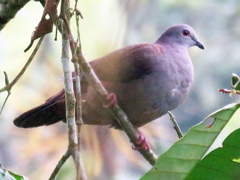Dusky Pigeon - Neil Wingert