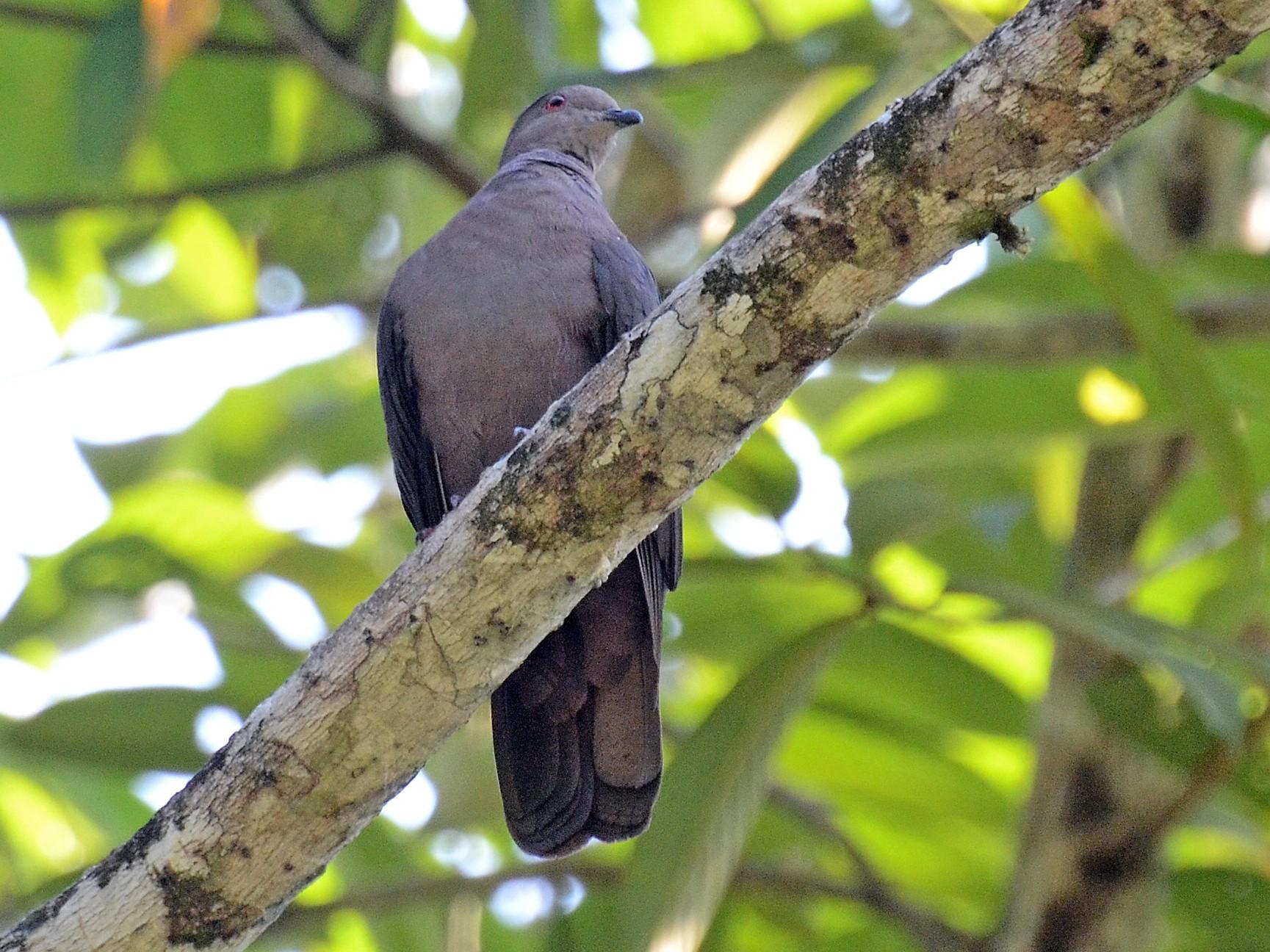 Dusky Pigeon - David M. Bell