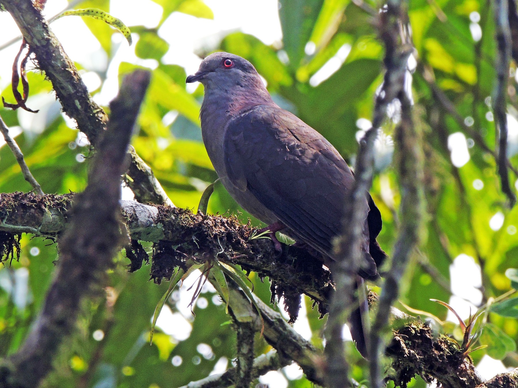 Dusky Pigeon - Ottavio Janni