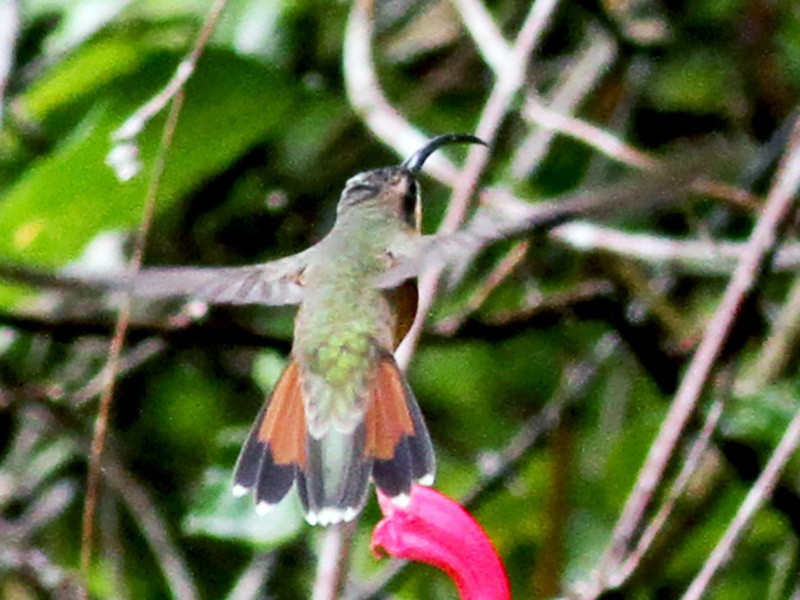 Rufous-breasted Hermit - Jay McGowan