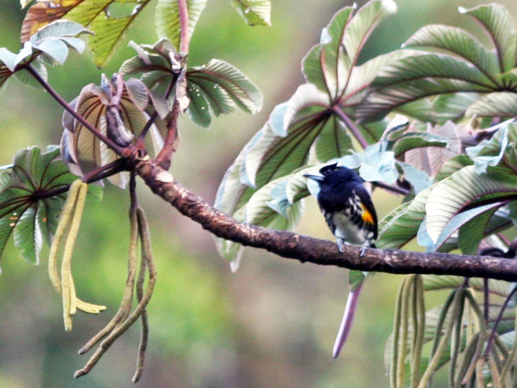 Spot-crowned Barbet - David Disher