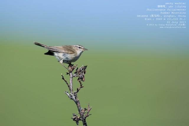Smoky Warbler