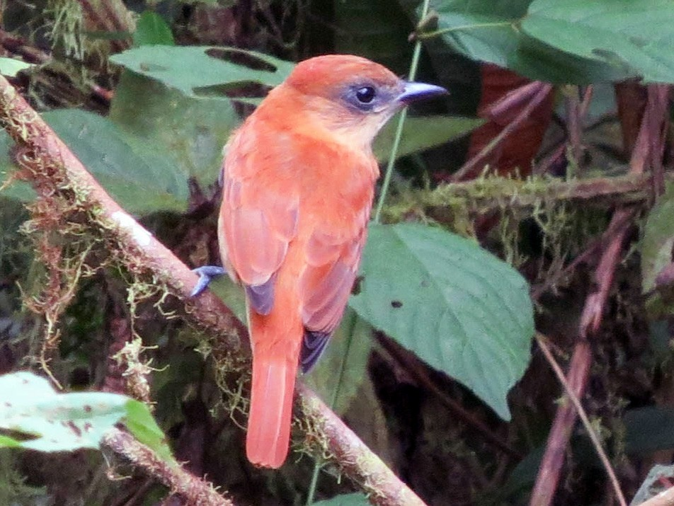 One-colored Becard - Anonymous eBirder