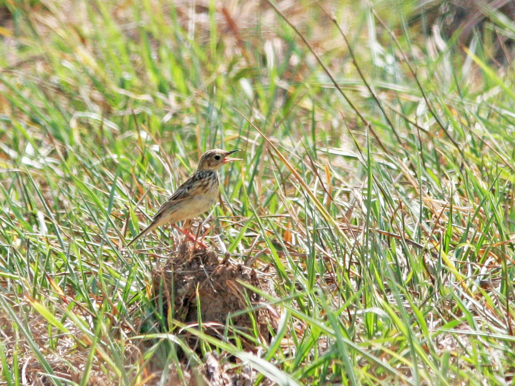 Yellowish Pipit - David Disher