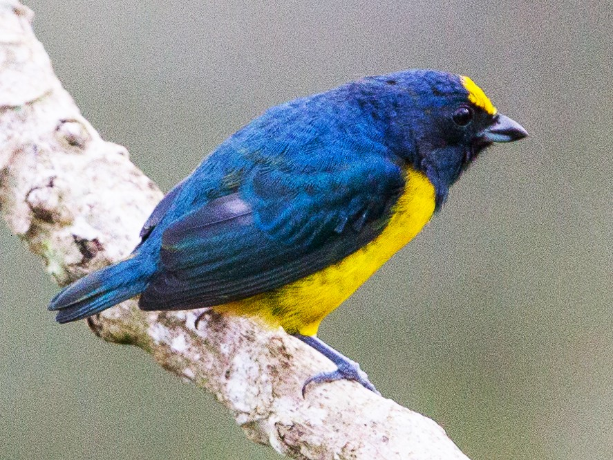 Fulvous-vented Euphonia - David Disher