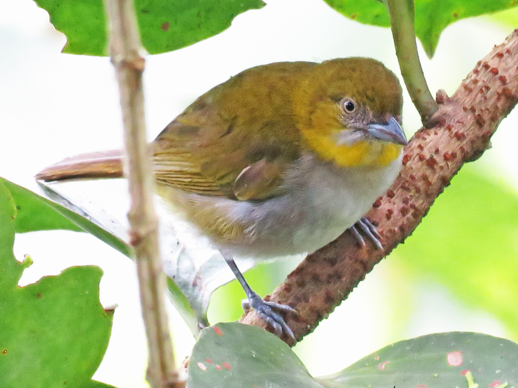 Yellow-throated Chlorospingus - Juan Pablo Arboleda