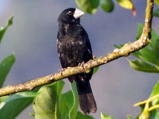 - Large-billed Seed-Finch