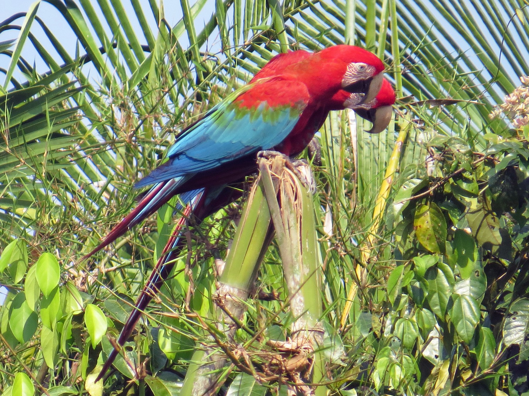 Red-and-green Macaw - Fred Peters