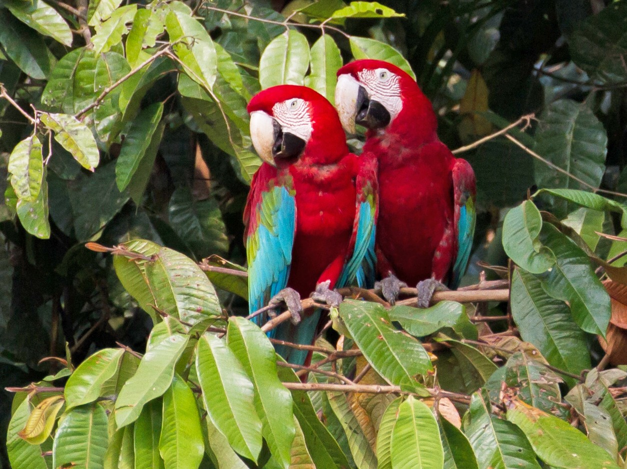 Red-and-green Macaw - Cullen Hanks