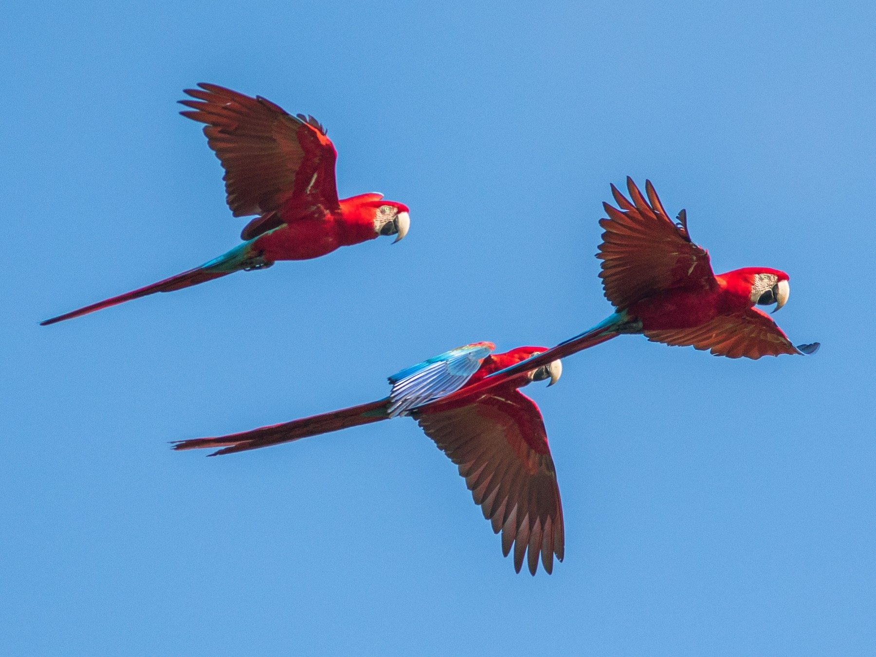 Red-and-green Macaw - Fernando Farias