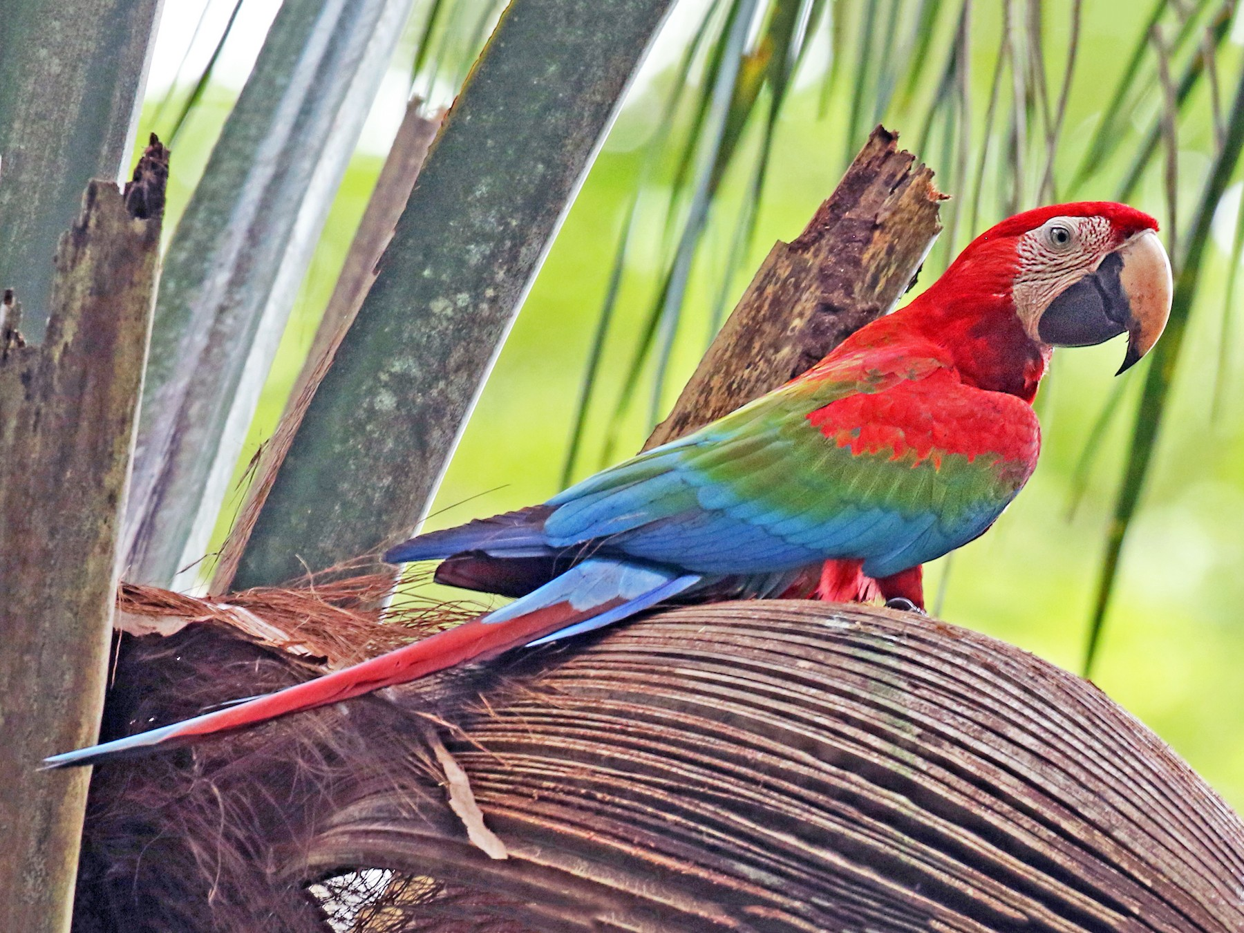 Red-and-green Macaw - Luke Seitz