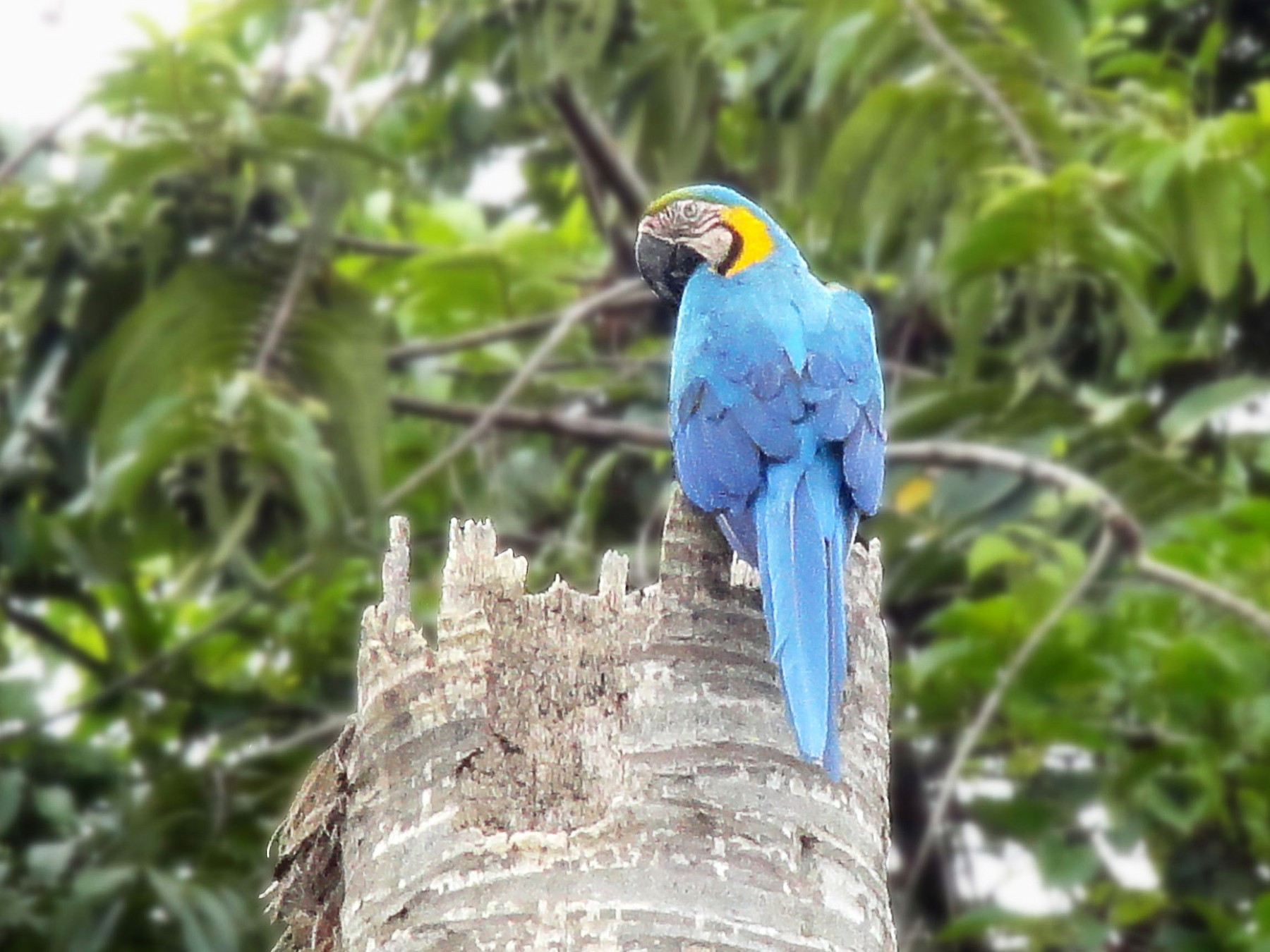 Blue-and-yellow Macaw - Vishal Al Rangersammy