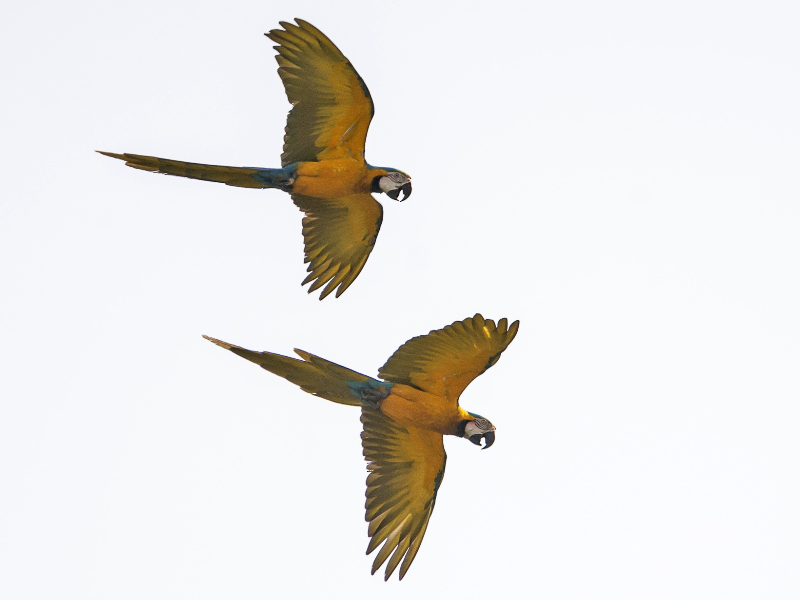 Blue-and-yellow Macaw - Jerome Foster