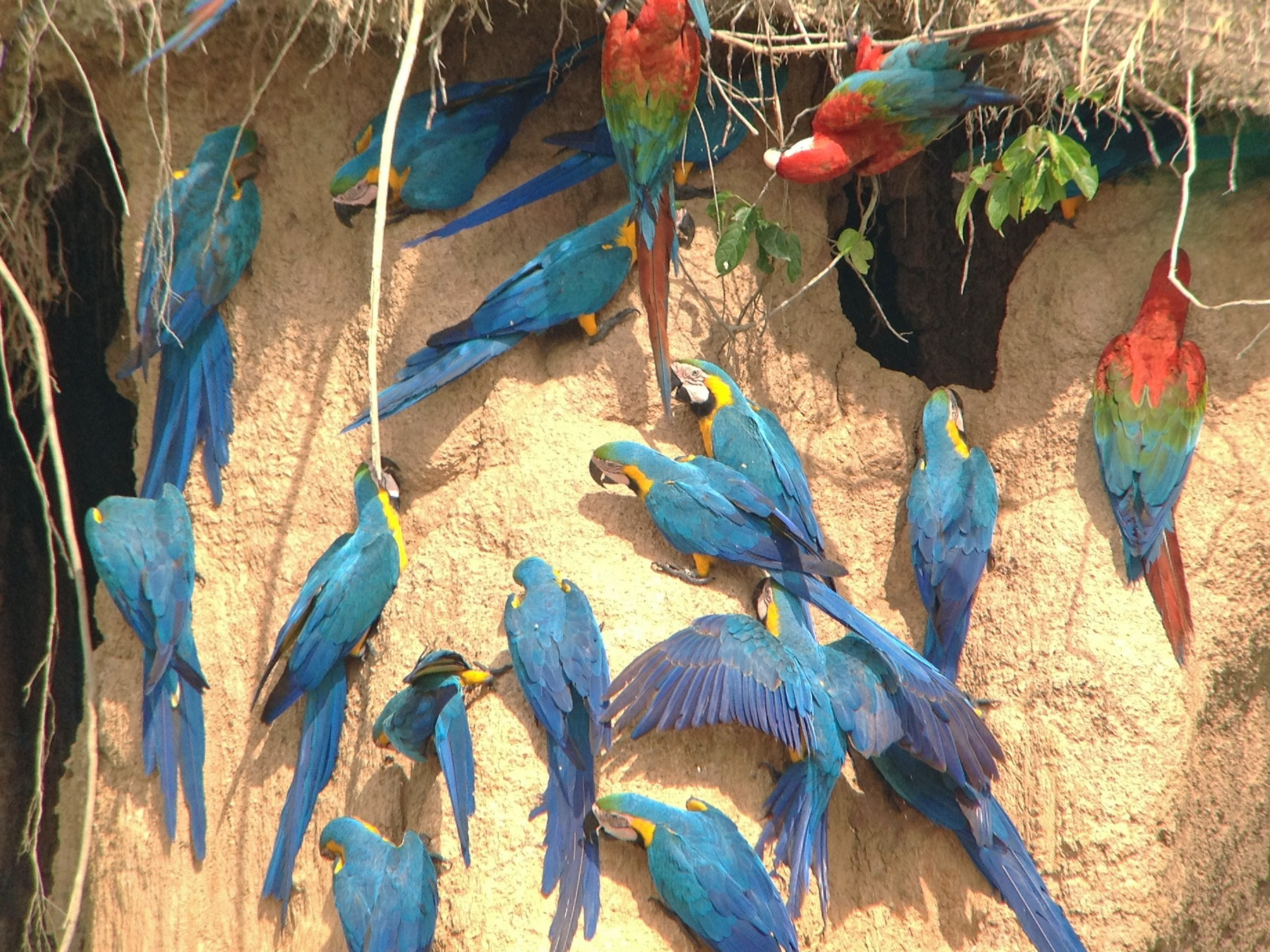 Blue-and-yellow Macaw - Carl Engstrom