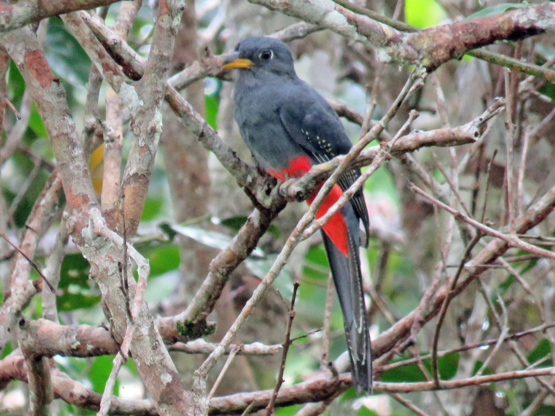 Black-tailed Trogon - Alfonso Escajadillo