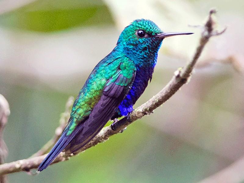 Violet-bellied Hummingbird - Joshua Vandermeulen