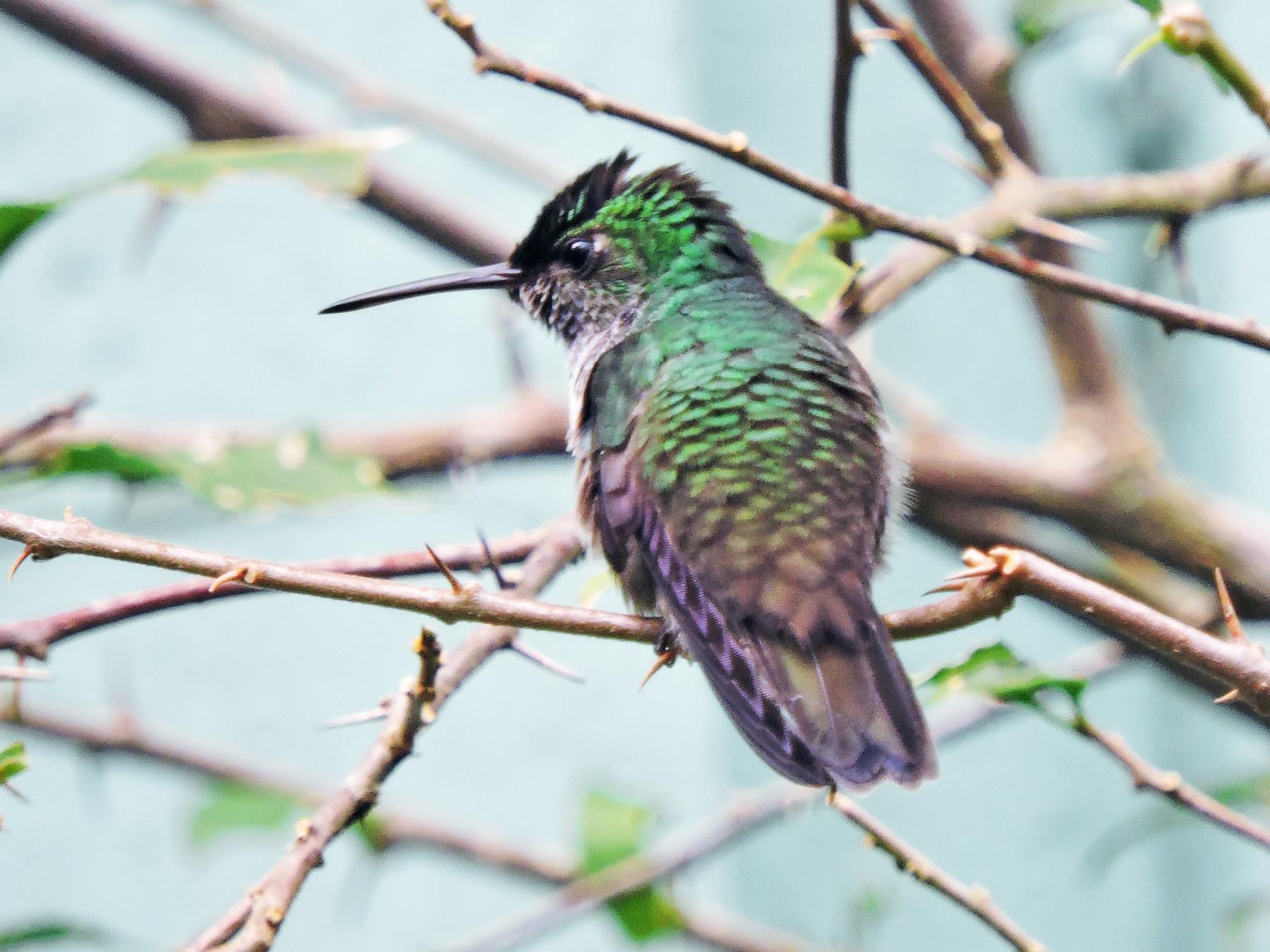 Violet-bellied Hummingbird - Gary Hantsbarger
