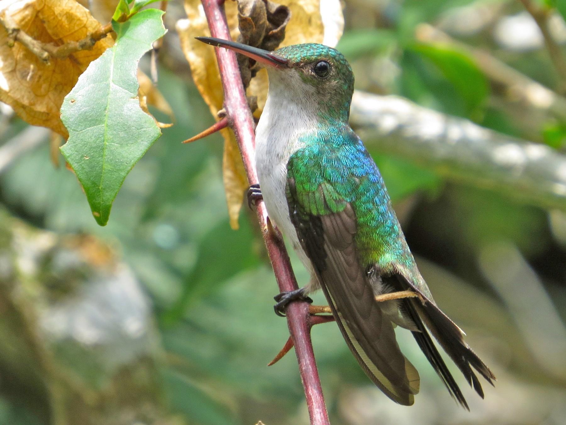 Violet-bellied Hummingbird - Adam Dudley