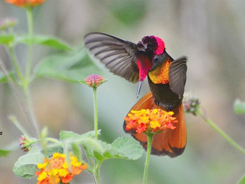 Ruby-topaz Hummingbird - Stephen Jones