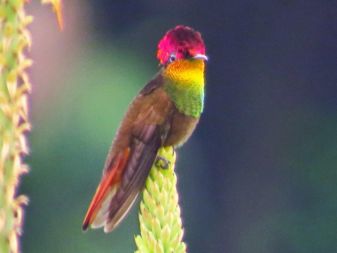 Ruby-topaz Hummingbird - Jorge Muñoz García   CAQUETA BIRDING