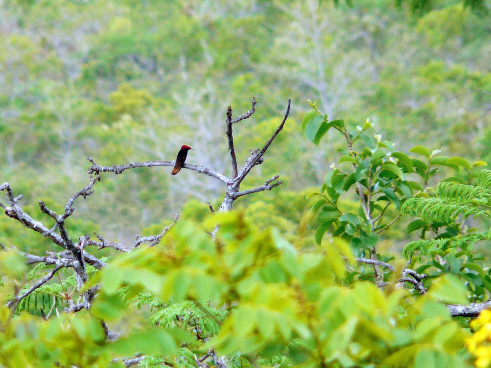 Ruby-topaz Hummingbird - Bill Crins