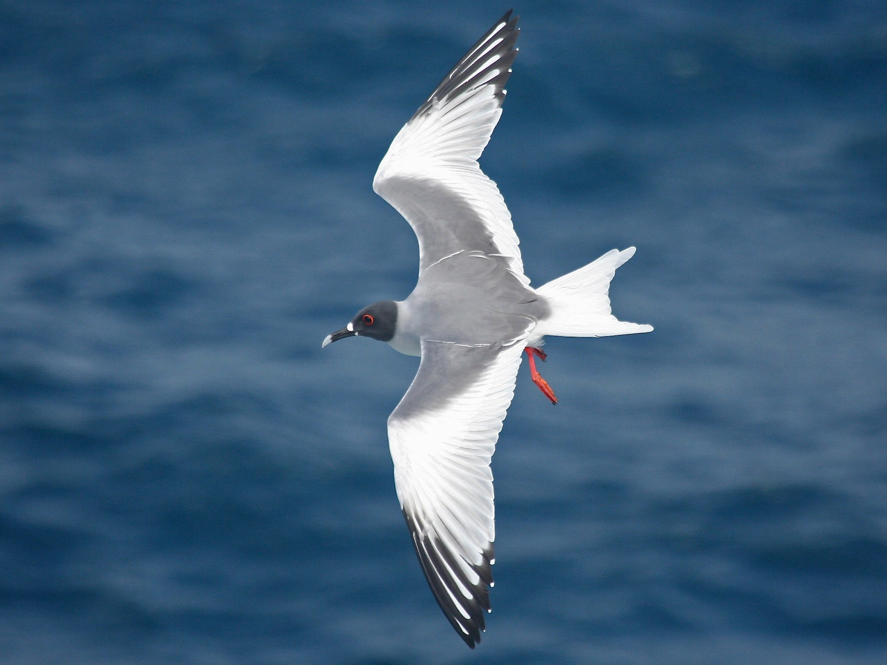 Swallow-tailed Gull - Gil Ewing