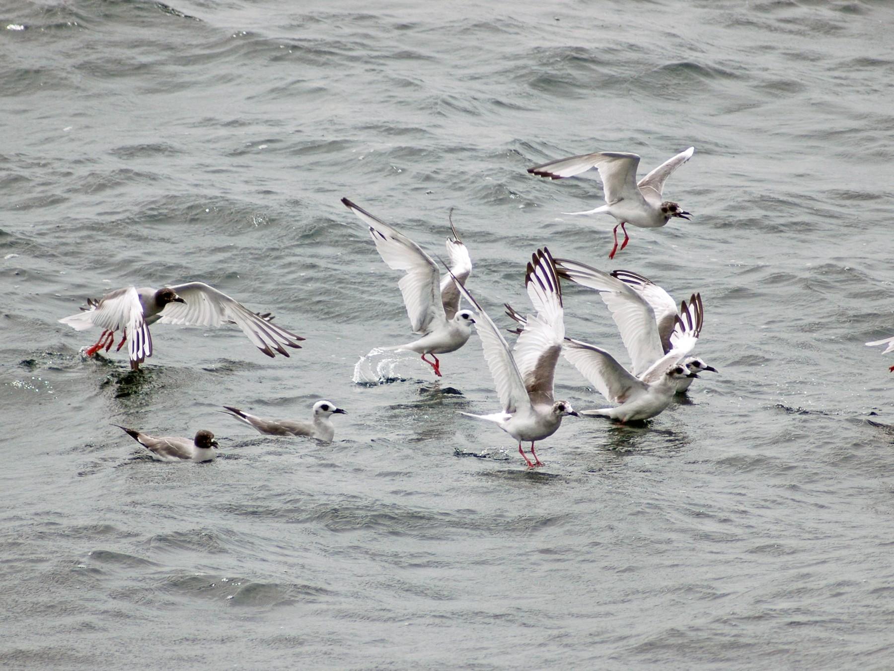 Swallow-tailed Gull - Santiago Imberti