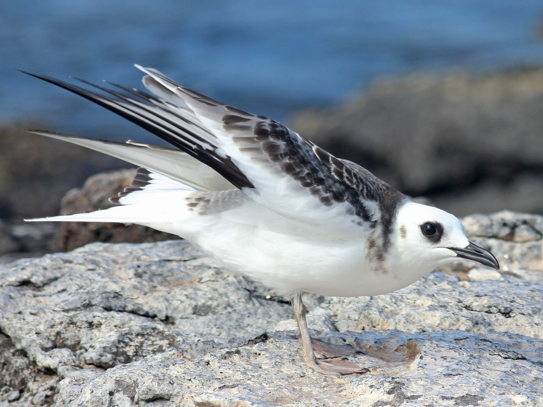 Swallow-tailed Gull - Shawn Billerman