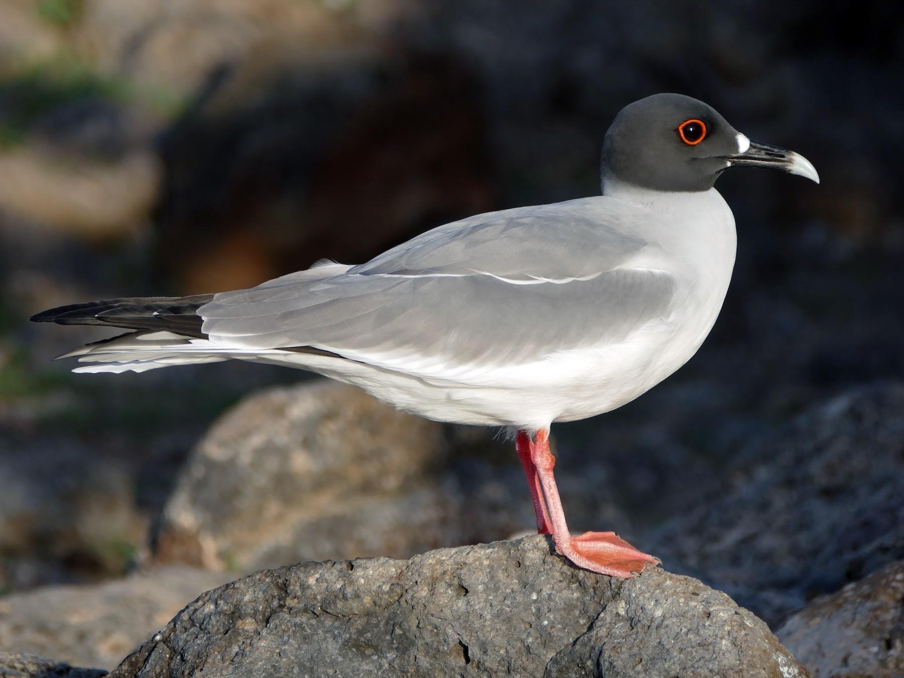 Swallow-tailed Gull - Peter Kaestner