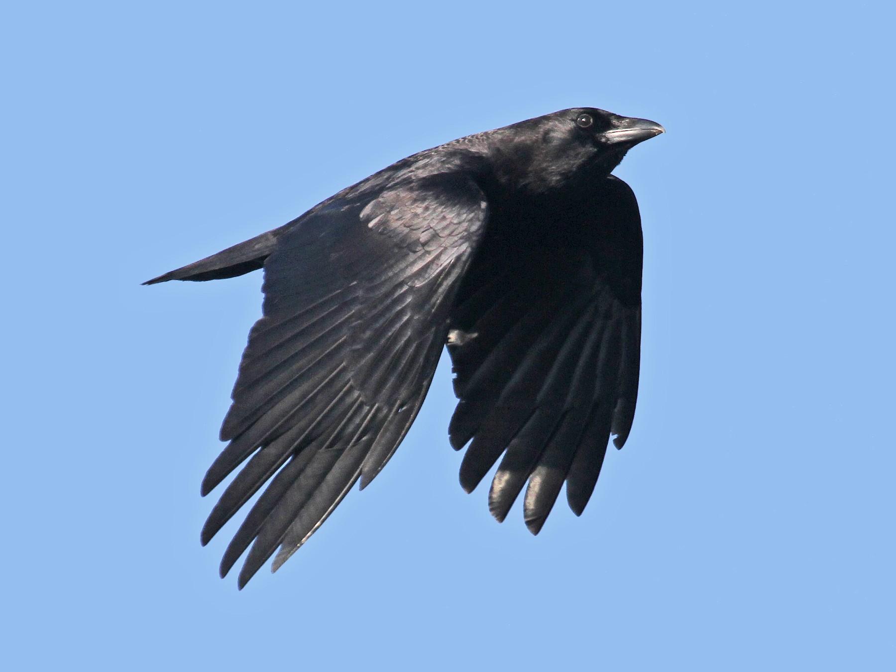 American Crow - Ryan Schain