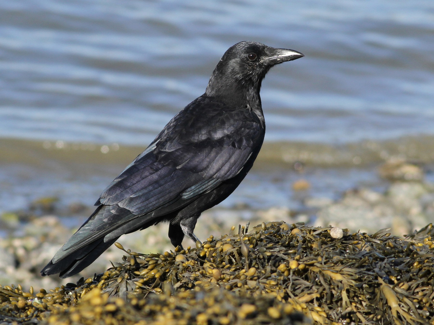 American Crow - Evan Lipton