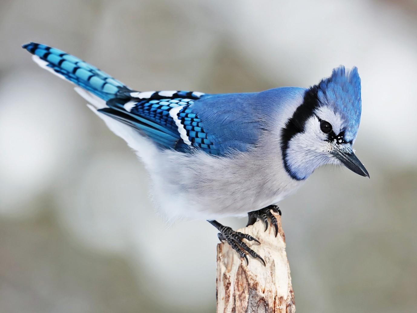 Blue Jay - bellemare celine
